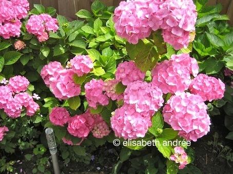 pink hortensia - elisabeth andrée