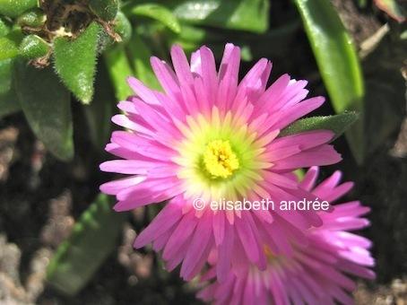 roze ijsbloem - pink ice flower - elisabeth andrée