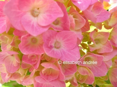 hortensia - photo by elisabeth andrée