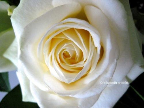 White_rose_9710