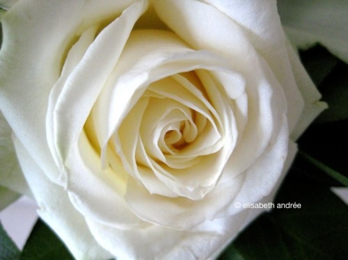 White_rose_9746