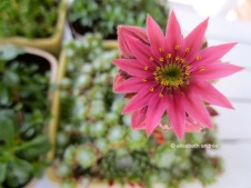 beautiful colored succulent flower