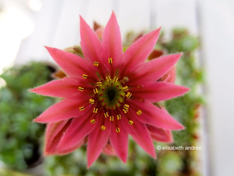 pink flower succulent