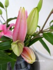 pink lily buds