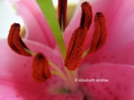 pink lily stamens