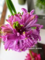 purplish hyacinth