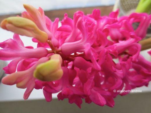 'red' hyacinth