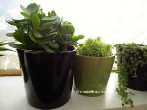 succulents and string of pearls