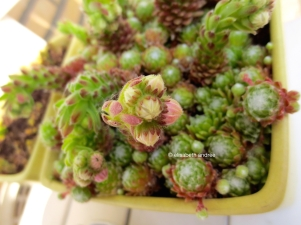 succulent is going to bloom 2014